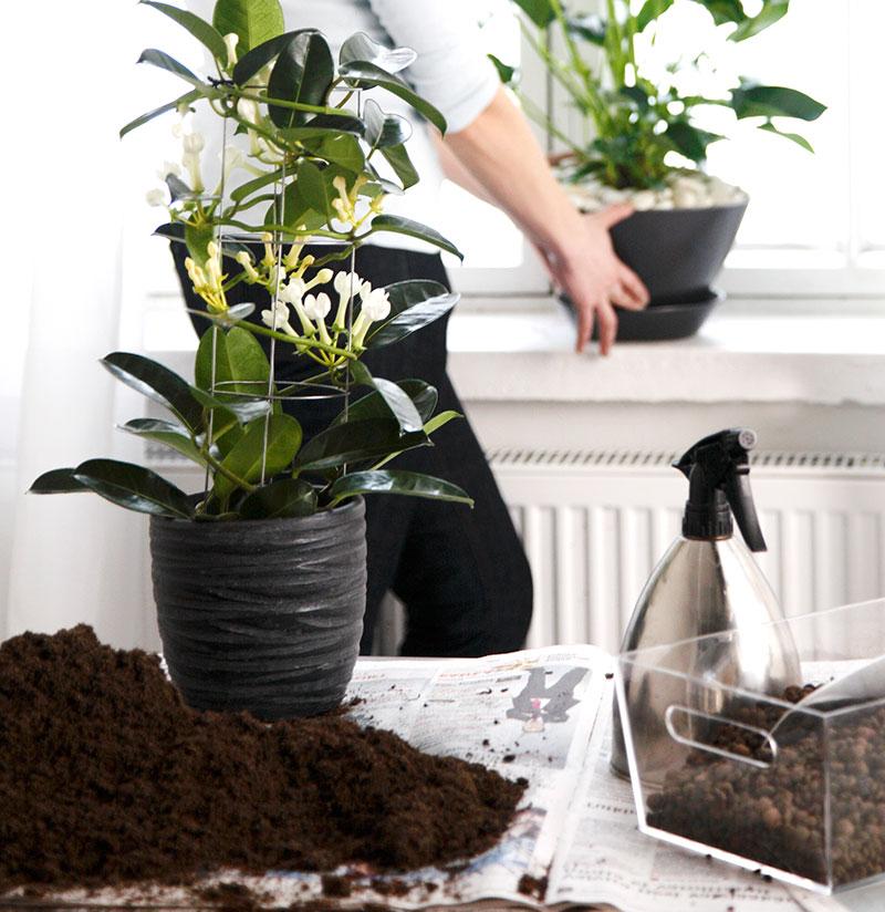 Omplantering i jord för blommande krukväxter
