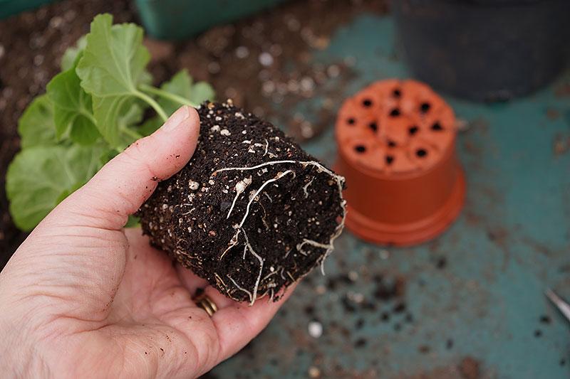 Sticklingsplanta med fina rötter