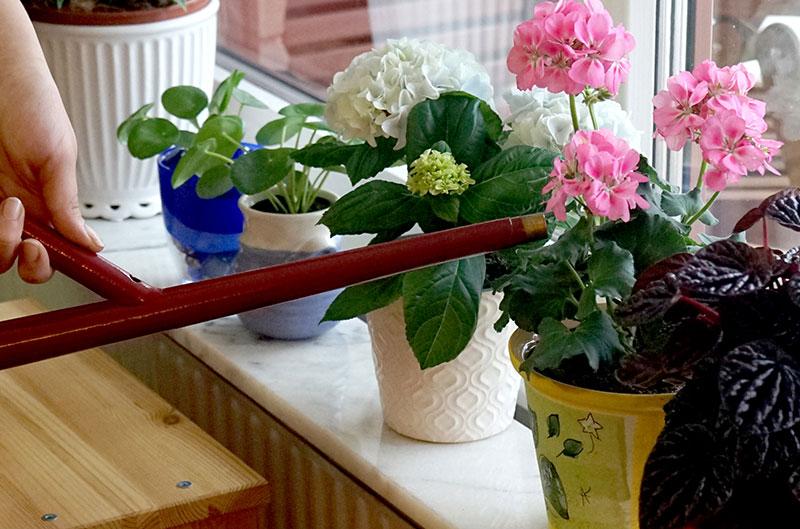Näringsvattning av krukväxter som blommar med urin