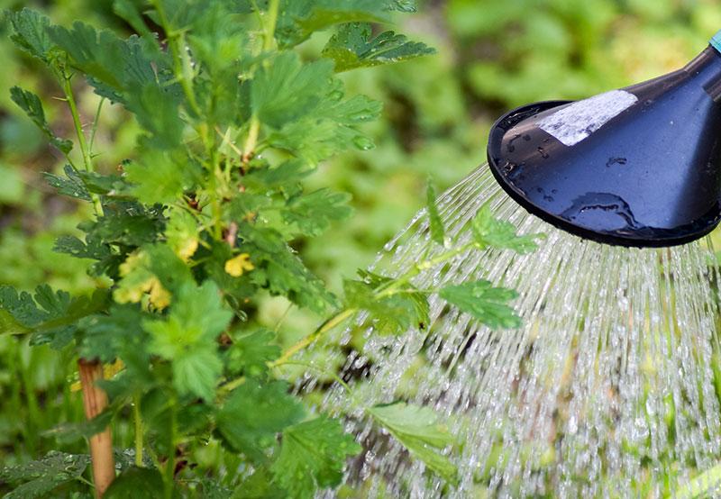 Vattning av bärbuskar med urin som guldvatten