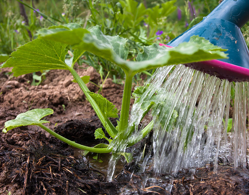 Vattning av grönsaker med urin som guldvatten