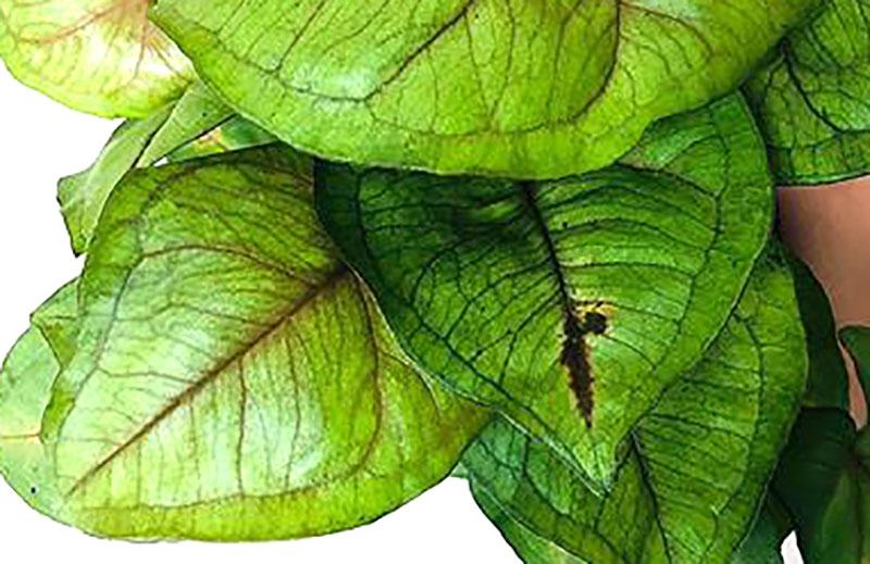Kalciumbrist på blad