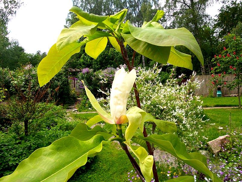 Magnolia har andra krav på pH-värde än tex syren