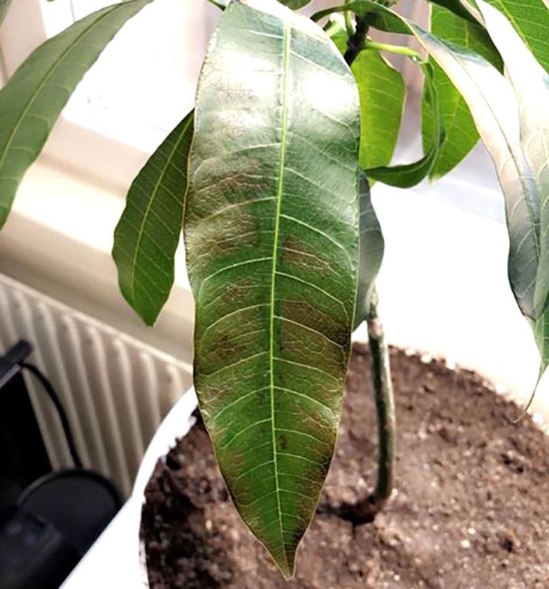 fosforbrist på blad av mango
