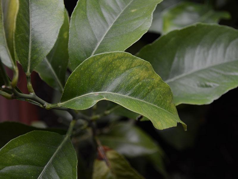 järnbrist i unga blad hos citrus