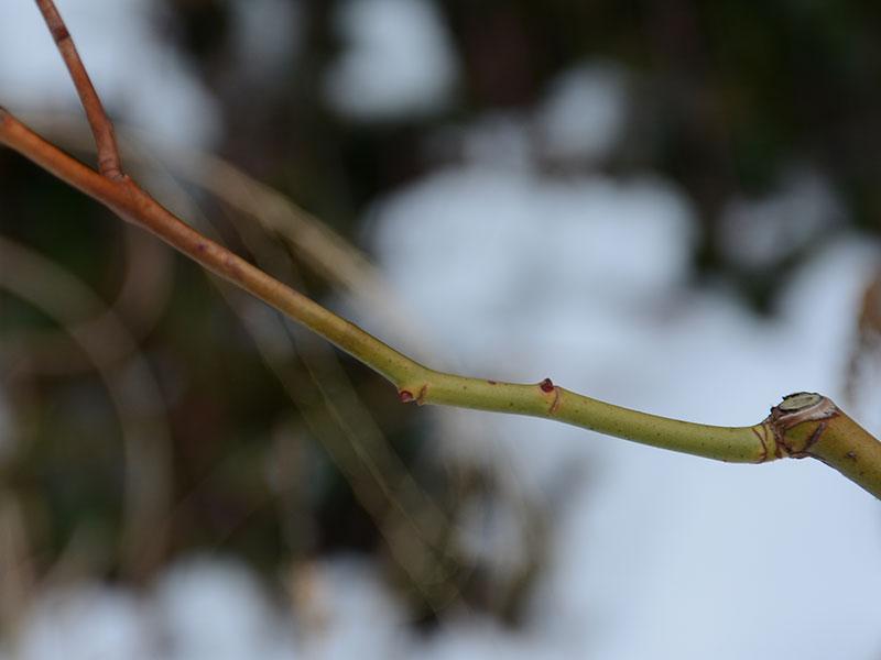 knoppar som avmognat på vintern och skott som är frostskadat på ros