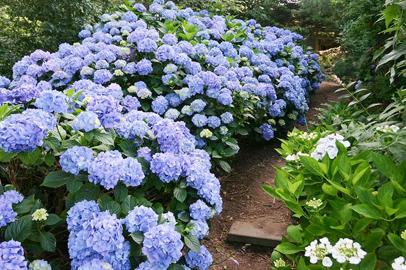 blå hortensia i trägård