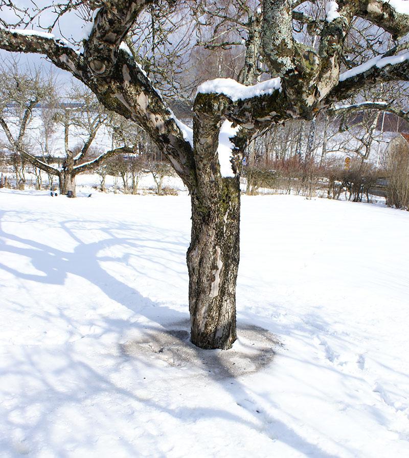 Vedaska uthällt på snön runt äppelträdet