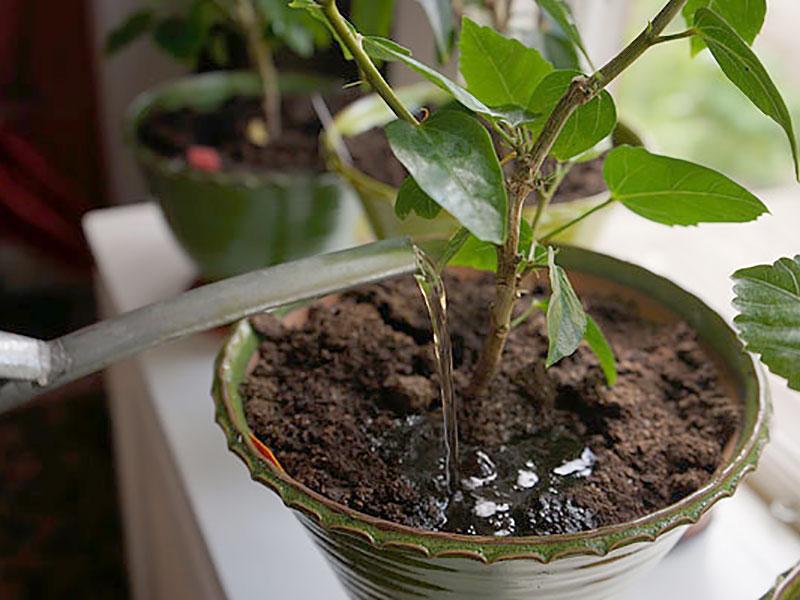 Växter vattnas med utspädd maskjuice