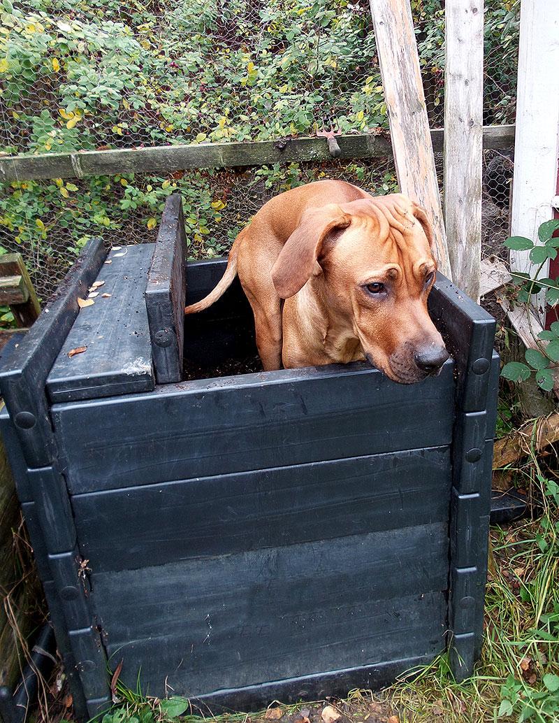 Hunden Spike står i trädgårdskomposten