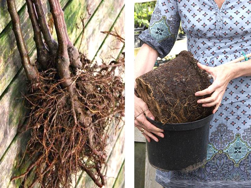 barrade häckplantor och häckplanta i kruka