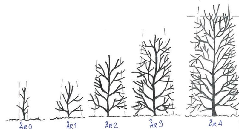 beskärning av häck med genomgående stam