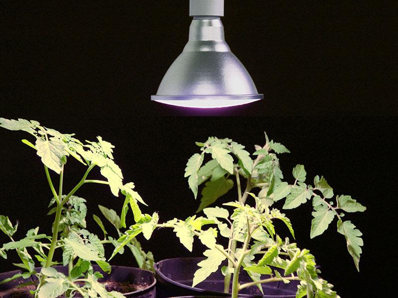 Växtbelysning för uppdragning av tomatplantor