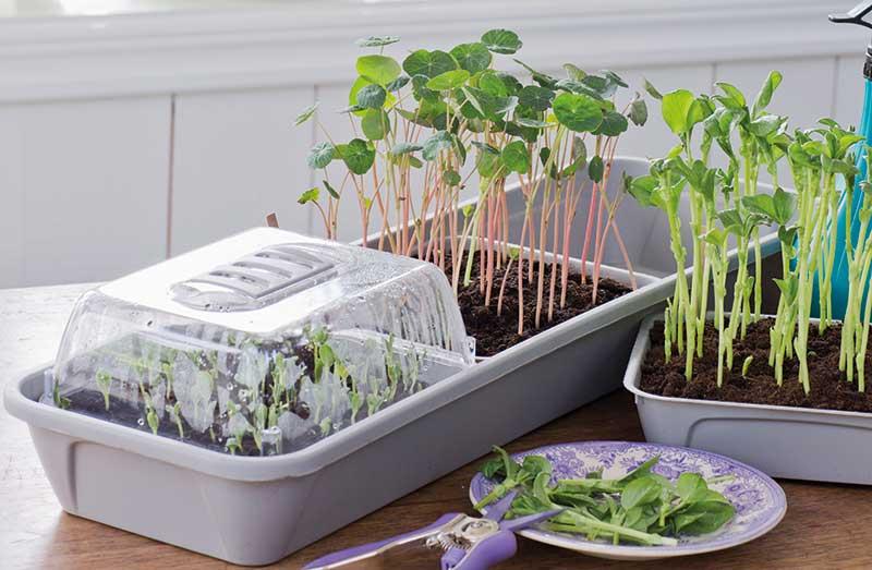 Odling inomhus av ätbara blad och örter