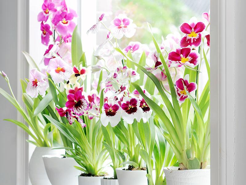 Miltonia orkidéer samling på fönsterbrädan