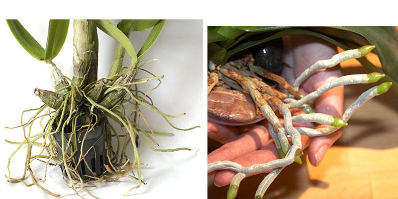 olika slags rötter på orkidé