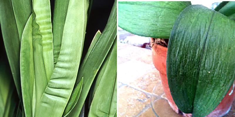 mjuka blad och veckade dragspelsblad på orkidé