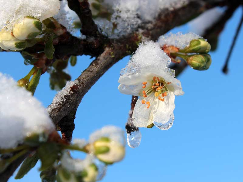 Plommonblomma med frostskada