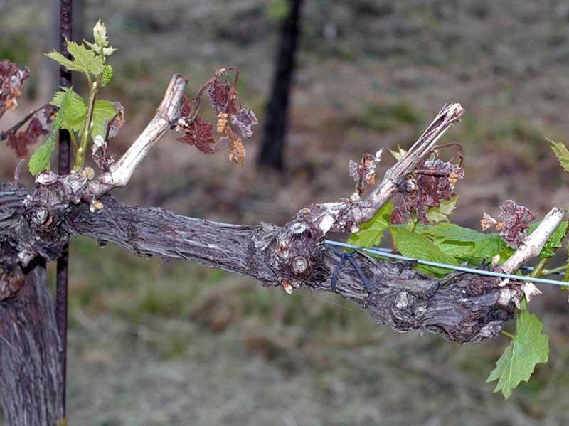 Vinplanta med frostskadade skott
