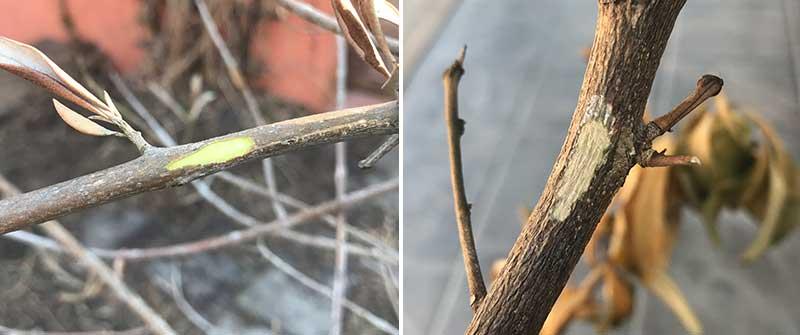 Kraptest på oliv och citron efter frostskada