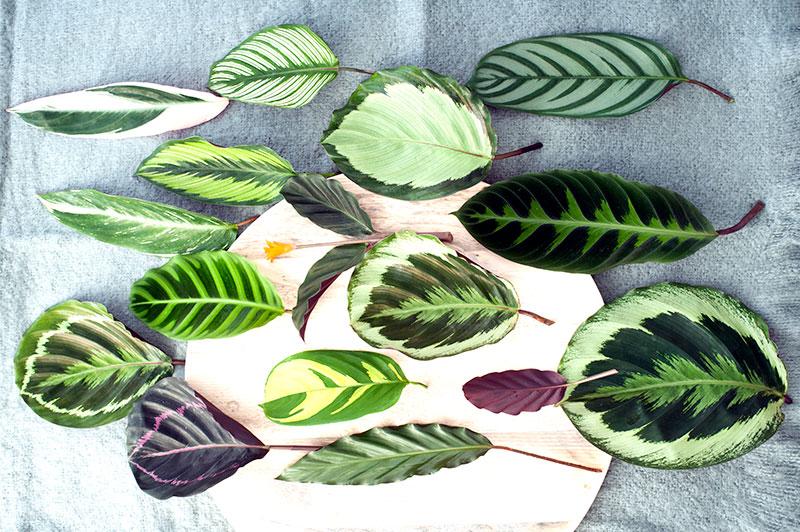 Olika blad av kalatea med brokig färg