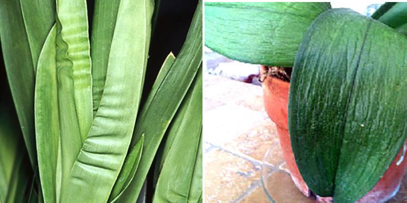 Dragspelsblad och läderblad på orkidé av övervattning