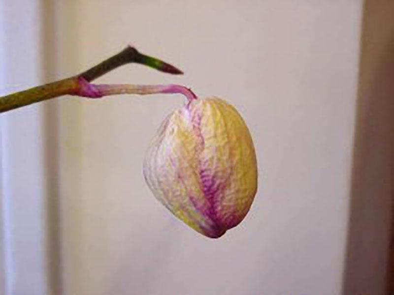 Svag blomknopp på orkidé