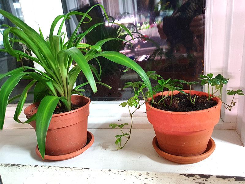 krukväxter i plastkruka och lerkruka