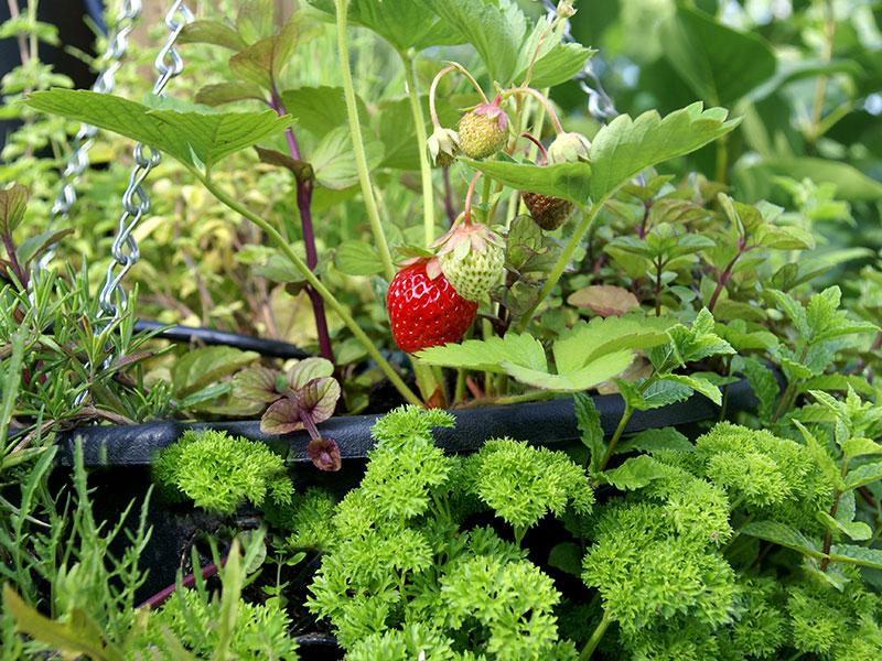 Jordgubbar och kryddväxter odlade i ampel