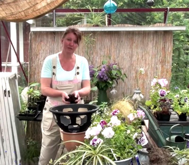 Plantering av ampel i växthuset