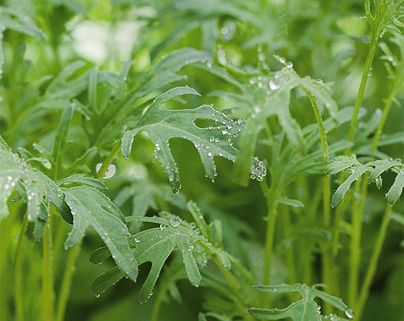 Småblad av grönkål