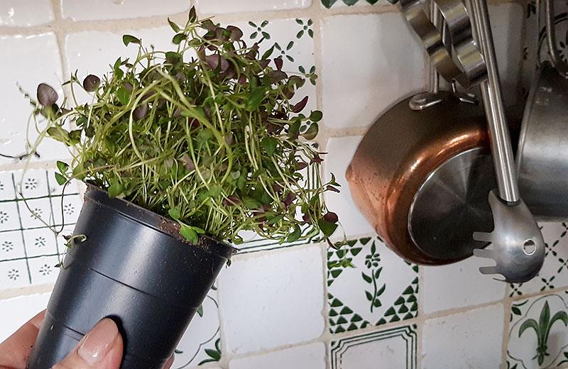 Timjan odlad i kruka inomhus i hydrokultur