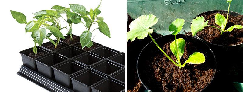 omplantering av småplantor