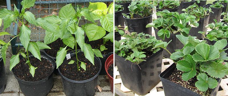 Chiliplantor och jordgubbar i kruka