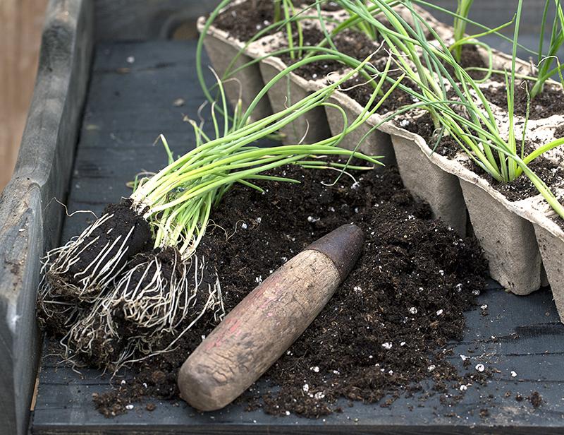 Omskolning av lökplantor till större kruka