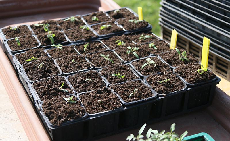 Omplantering av fröplantor