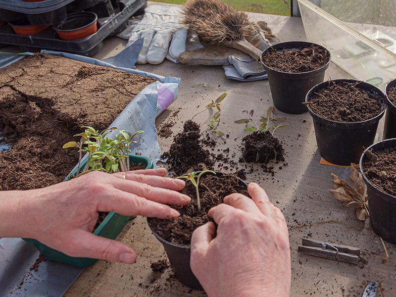Omskolning av fröplantor till större kruka