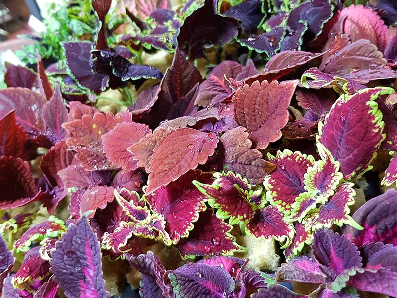 Sticklingar av palettblad, coleus