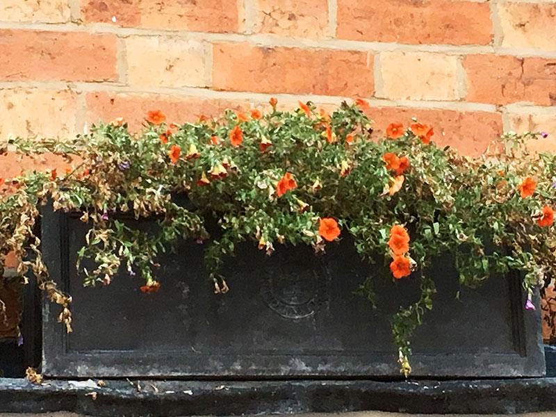 Trött och sliten petuniaplanta
