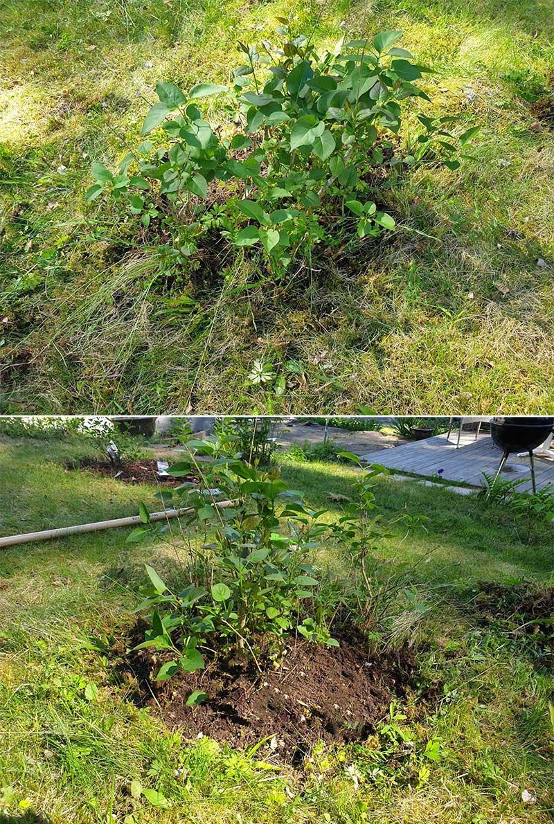 Före - efter rensa ogräs runt buskar