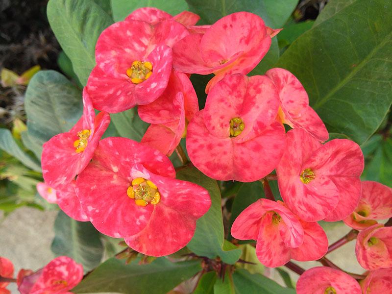 fläckar på blommor av krukväxt kristi törnekrona