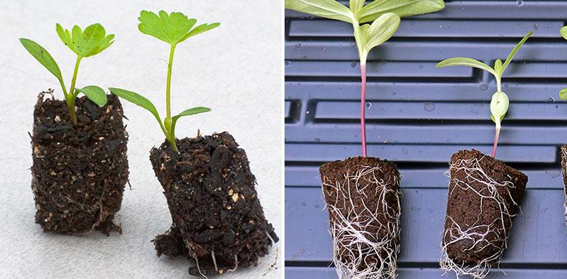 Pluggplantor av persilja och zinnia