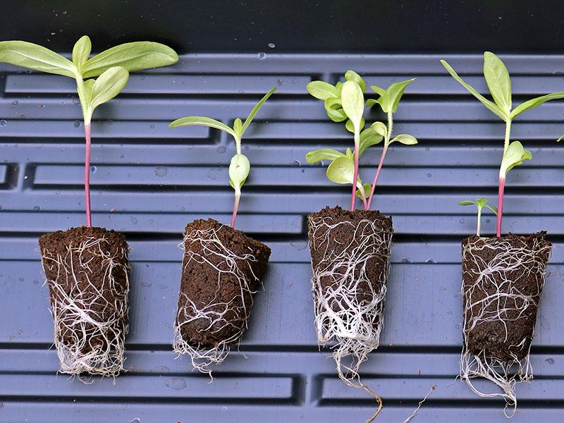 Pluggplantor av zinnia