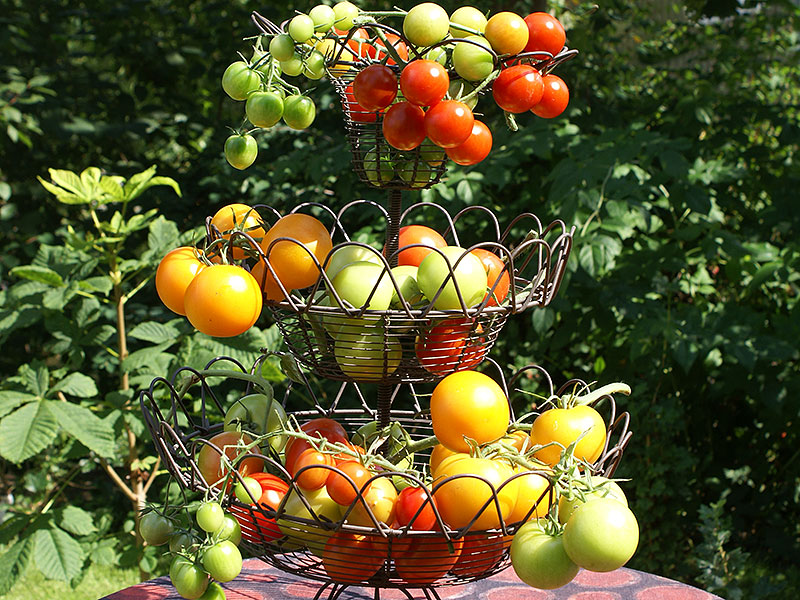 Korg med många olika tomatsorter