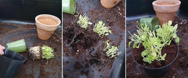 omplantering av persilja