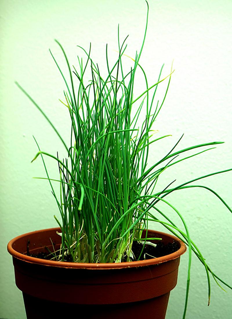 Omplanterad gräslök från snabbköpet som odlas inomhus