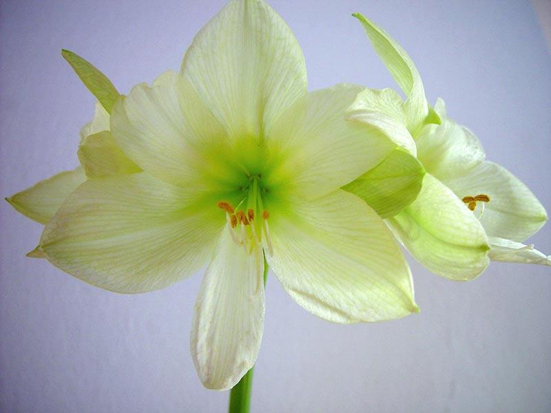 amaryllis med limefärgade blommor