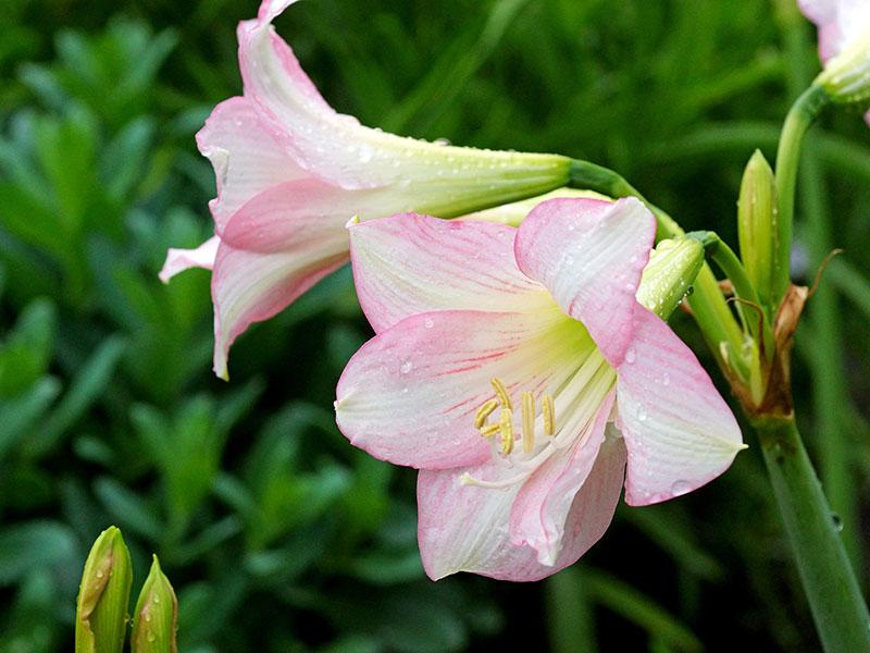 Amaryllis Sonatini 'Pink Rascal'