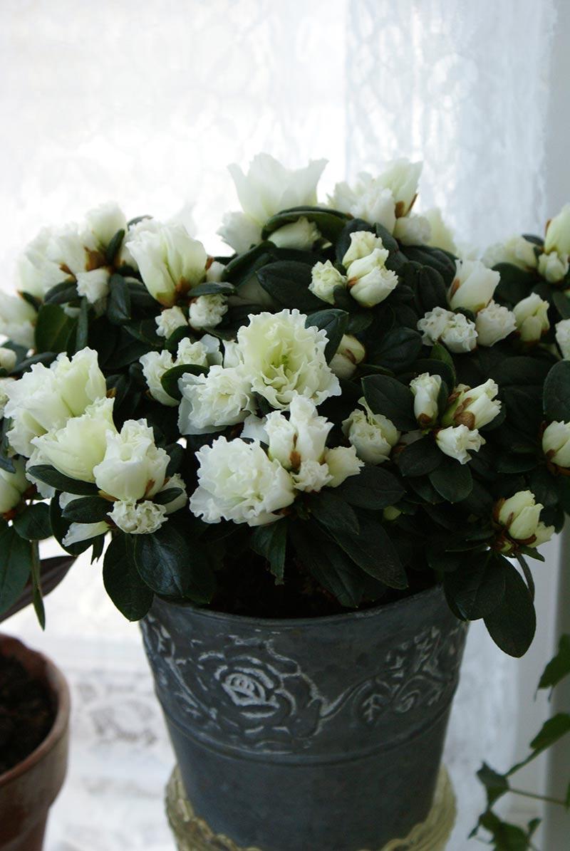 julblomman azalea med vita blommor