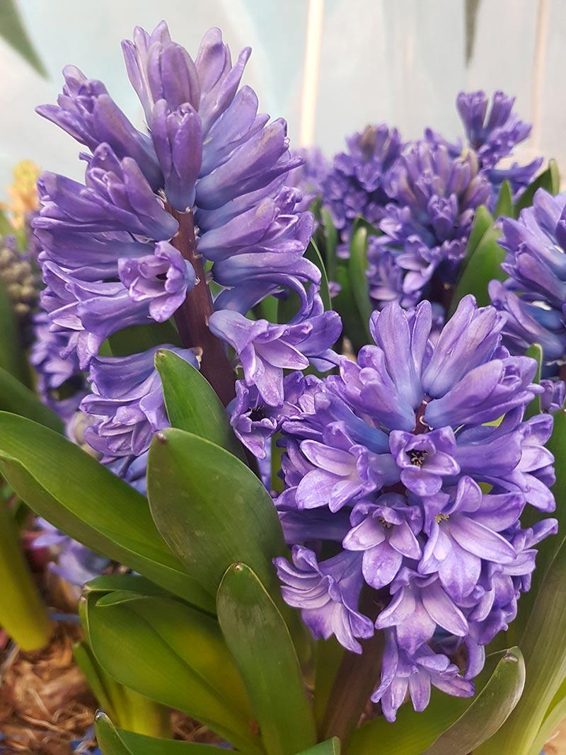Julhyacint med blå blommor